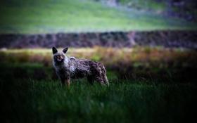 Обои животные, трава, природа, звери, фото, хищники, зверь