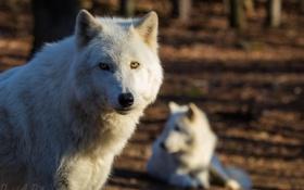 Обои лес, волк, портрет, хищник, красавец, арктический