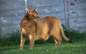 Обои кот, трава, газон, кошка