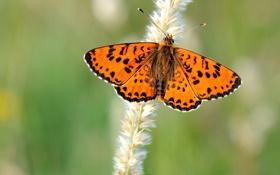 Обои бабочка, крылья, стебель, усики