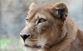 Обои фон, хищник, лев, профиль, львица