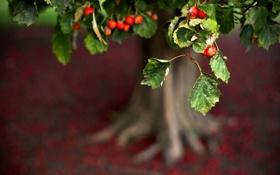 Картинка листья, природа, ягоды, фото, фон, дерево, обои