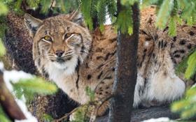 Картинка кошка, взгляд, дерево, ветви, рысь, ©Tambako The Jaguar