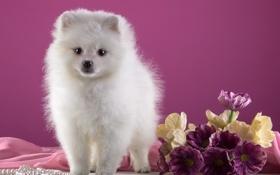 Обои щенок, белый, шпиц, цветы