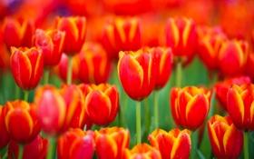 Обои бутоны, природа, весна, красные, тюльпаны, лепестки, цветы