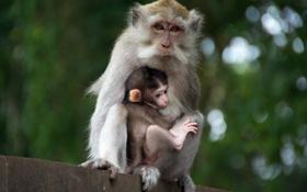 Картинка животные, забор, обезьяны, детеныш