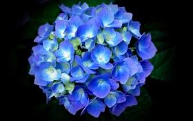 Обои листья, лепестки, голубая, гортензия, чёрный фон