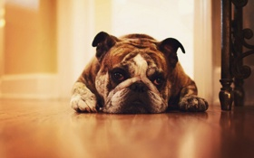 Обои друг, собака, Bulldog