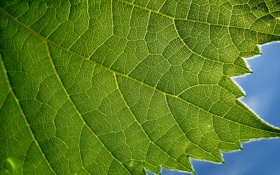 Обои природа, текстура, лист