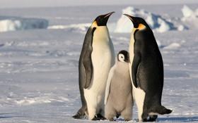 Картинка холод, лед, снег, семья, Пингвины