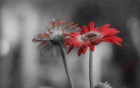 Обои листья, природа, краски, растение, лепестки, гербера