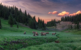 Картинка лес, поляна, вечер, ели, олени