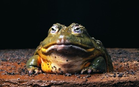 Обои лягушка, жаба, холоднокровное, змноводное