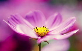 Обои цветок, сиреневый, лепестки, макро