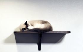 Картинка кошка, стена, полка