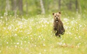 Картинка трава, природа, медвежонок, наблюдение