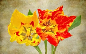 Обои цветы, лепестки, холст, тюльпан