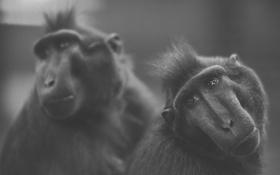 Обои взгляд, фото, две, ч/б, обезьяны, одна, смотрит