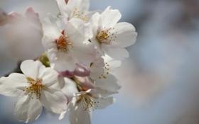 Обои макро, цветы, вишня, нежность, ветка, весна, лепестки