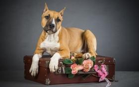 Картинка друг, собака, чемодан, пёс