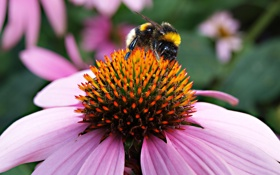 Картинка лето, природа, шмель, пыльца, макро, цветы