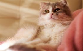 Обои кошка, кот, ткань, лежит