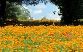 Обои деревья, пейзаж, природа, поляна, маки, оранжевые, много