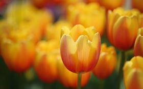 Картинка луг, весна, тюльпаны, лепестки