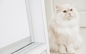 Картинка кошка, кот, пушистая