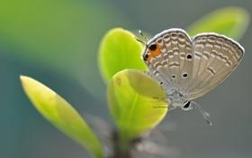 Картинка листья, бабочка, растение, крылья, мотылек