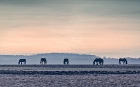 Картинка поле, закат, кони