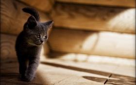 Обои кот, грустный, котенок, cat, серый, кошка