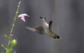 Обои цветок, природа, нектар, птица, колибри