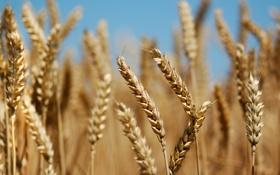 Картинка поле, природа, растения, хлеб, колосья