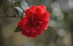 Картинка цветок, листья, ветка, красная камелия