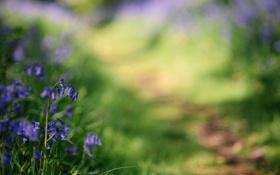 Обои цветы, Колокольчики, Bluebells