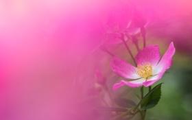 Обои цветок, макро, розовый, роза, шиповник