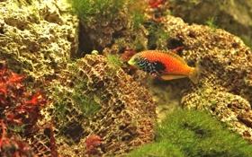 Картинка рыбка, морское дно, губан
