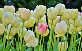 Картинка весна, тюльпаны, бутоны