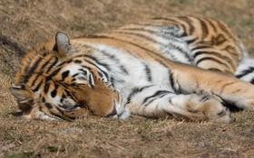 Картинка кошка, морда, природа, тигр, отдых, хищник, лапы