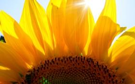 Картинка лето, солнце, оса, подсолнух
