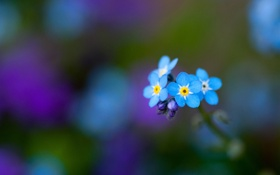 Картинка зелень, цветы, голубые, незабудки
