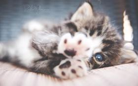 Картинка кошка, кот, котенок, лапы, маленький, котэ, перешарп