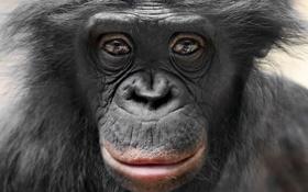 Картинка взгляд, природа, обезьяна