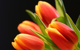 Картинка цветы, лепестки, тюльпаны, бутоны