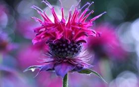 Картинка цветок, растение, сорняк