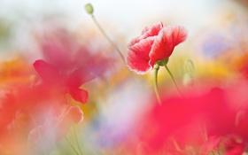 Обои цветы, маки, лето