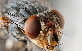 Обои муха, макро снимок, насикомое