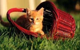 Картинка трава, котенок, рыжий, корзинка