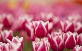 Обои цветы, весна, тюльпаны, розовые, белые